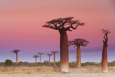 Baobab trees, Madagascar, Madagascar