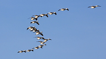 Snow geese in flight, Skagit Valley, Washington, USA, Skagit Valley, Washington, USA