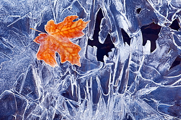 A brown maple leaf, frozen and frosted, lying on a sheet of ice, with jagged patterns of frost and ice crystals, Utah, USA
