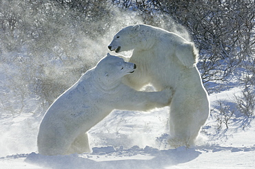 Polar bears in the wild. A powerful predator and a vulnerable or potentially endangered species. Two animals wrestling each other, Manitoba, Canada
