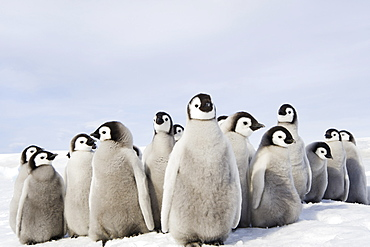 A nursery group of Emperor penguin chicks, huddled together, looking around. A breeding colony, Weddell Sea, Snow Hill Island, Antarctica
