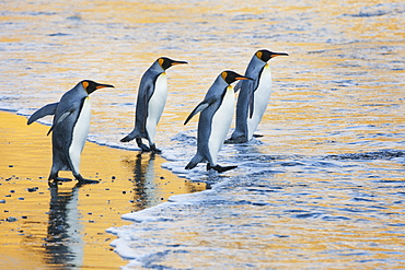 A group of four adult King penguins at the water's edge walking into the water, at sunrise. Reflected light, Fortuna Bay, South Georgia Island