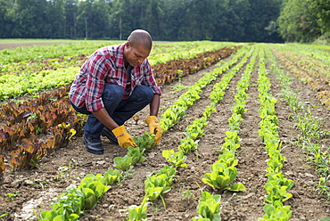 A man in a field of small salad plants growing in furrows, Rhinebeck, New York, USA
