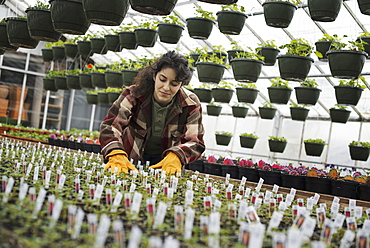 Spring growth in an organic plant nursery glasshouse. A woman working, checking plants and seedlings, Woodstock, New York, USA