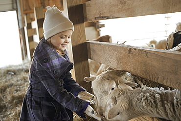 A child in the animal shed letting the sheep feed from her hand, Cold Spring, New York, USA