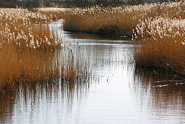Tall reed stalks and feathery seedheads growing in shallow water in the fens near Snettisham in Norfolk, Snettisham, Norfolk, England