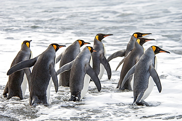 A group of king penguins, Aptenodytes patagonicus on South Georgia Island, King penguins, South Georgia Island, Falkland Islands