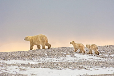 A polar bear group in the wild at sunset. An adult and two cubs, Wapusk National Park, Manitoba, Canada