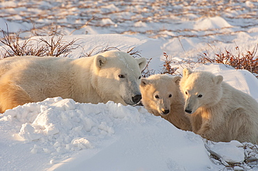A polar bear group in the wild, an adult and two cubs on a snowfield in Manitoba, Wapusk National Park, Manitoba, Canada