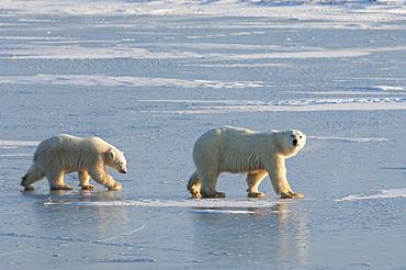 Two polar bears walking on a snowfield in Manitoba, Wapusk National Park, Manitoba, Canada