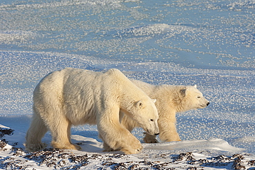 Two polar bears on a snowfield in Manitoba at sunset, Wapusk National Park, Manitoba, Canada