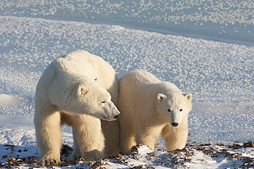 Two polar bears side by side on a snowfield in Manitoba, Wapusk National Park, Manitoba, Canada
