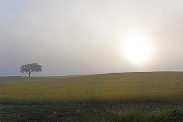 A single tree on the horizon, in a misty dawn, Sonega, Portugal