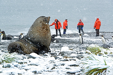 Travellers in bright orange waterproofs observing a group of king penguins, and a large fur seal in the foreground, South Georgia Island, Falklands Islands