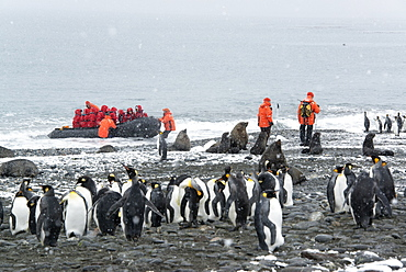 Travellers in bright orange waterproofs observing a group of king penguins and a fur seal on South Georgia Island, South Georgia Island, Falklands Islands
