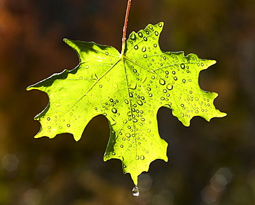 A bright green maple leaf against a dark background, lit by the sun. Autumn, Wasatch national forest, Utah, USA