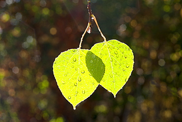 Two bright green leaves against a dark background, lit by the sun. Autumn, Wasatch national forest, Utah, USA