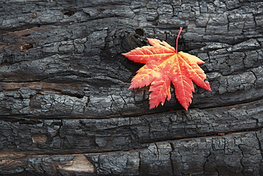 A red brown maple leaf on a tree trunk. Autumn, Wasatch national forest, Utah, USA