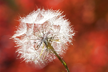 A dandelion seedhead, delicate and fluffy, Wasatch national forest, Utah, USA