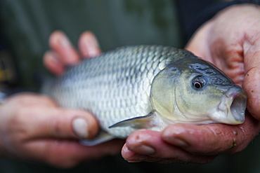 A man holding a young carp fish, his fishing catch, in his hands, Devon, England