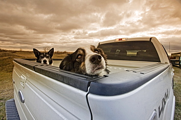 Two dogs peeking over the back of a pick-up truckTwo dogs, Saskatchewan, Canada
