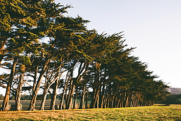 Row of Monterey Cypress trees native species of tree on the edge of a field near Point Reyes, Pacific shore, California, USA
