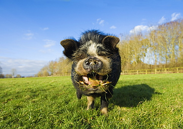 A Vietnamese pot bellied pig in an open field, with its mouth open, and tongue out, Gloucestershire, England, United Kingdom