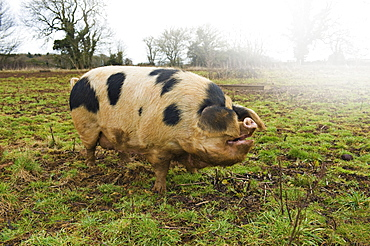 A large adult pig with black markings in an open field, Gloucestershire, England, United Kingdom