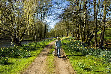 A woman and a small dog walking down a path through trees in fresh leaf, Tetbury, Gloucestershire, England