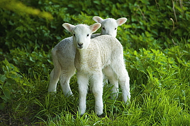 Two spring lambs alert and looking around, Tetbury, Gloucestershire, England