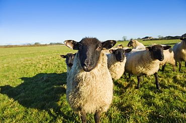 A small flock of sheep in a field, Tetbury, Gloucestershire, England