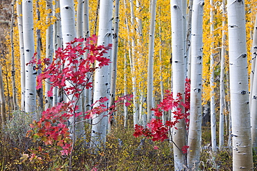 Fall colours in the Wasatch Mountains forests. Aspen trees with slender trunks and white bark, Utah, USA