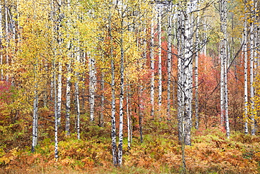 Fall colours in the Wasatch Mountains. Forests of aspen and maple, Snake Creek Canyon, Utah, USA