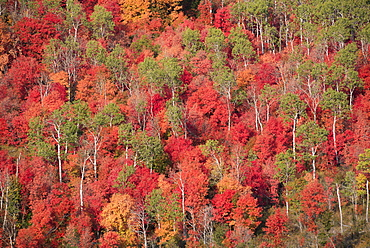 Vivid autumn foliage colour on maple and aspen tree leaves, seen from above, Wasatch Mountains, Utah, USA