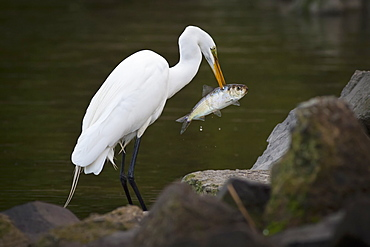 Great Egret with a fish in his beak.