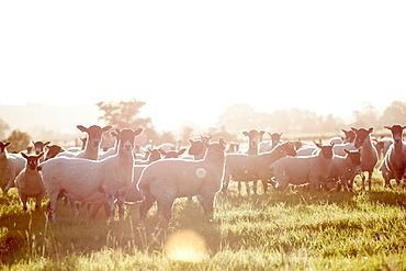 A flock of sheep in a field, with their heads up looking about them, England