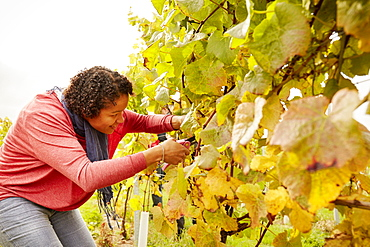 A grape picker leaning down and selecting bunches of grapes for harvest, England, United Kingdom