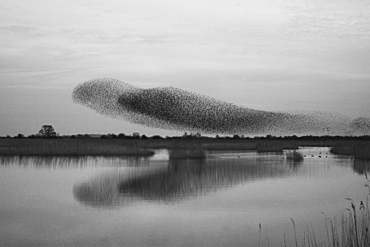 A murmuration of starlings, a spectacular aerobatic display of a large number of birds in flight at dusk over the countryside, England, United Kingdom