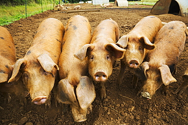 A group of pigs in a pen.
