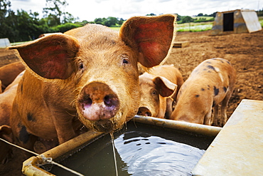 Three pigs in a field, one drinking from a trough.