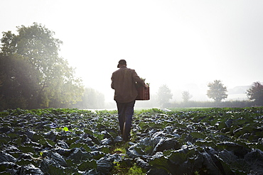 One person walking through rows of vegetables in a field, mist rising over the fields.