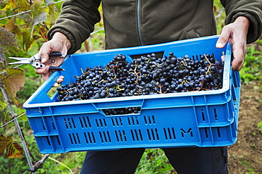 A man holding a crate of picked red grapes.
