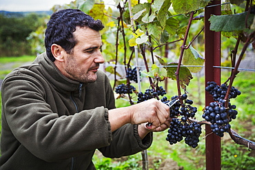 Person picking bunches of red grapes from the vine.