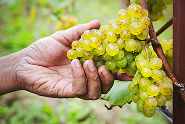 Person picking bunches of green grapes.