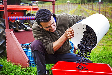 A man pouring red grapes into a red crate.