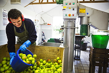 A man scooping fresh green whole apples in a bucket to load the scratter or grating machine.