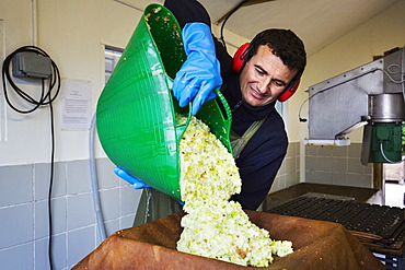 A man preparing the juicy crushed apple pulp, smoothing it before the pressing process.