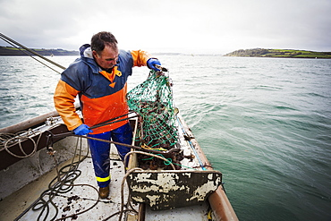 Traditional Sustainable Oyster Fishing, A fisherman opening a fishing creel on a boat deck, Fal Estuary, Cornwall, England