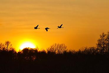 Silhouette of three red-crowned cranes, Grus japonensi, Japanese crane, in flight at sunset, Hokkaido, Japan