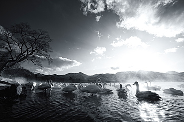 Flock of white Swans on a lake, Hokkaido, Japan